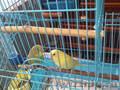 Попугаичики волнистые