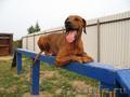 Дрессировка собак в г Елабуга